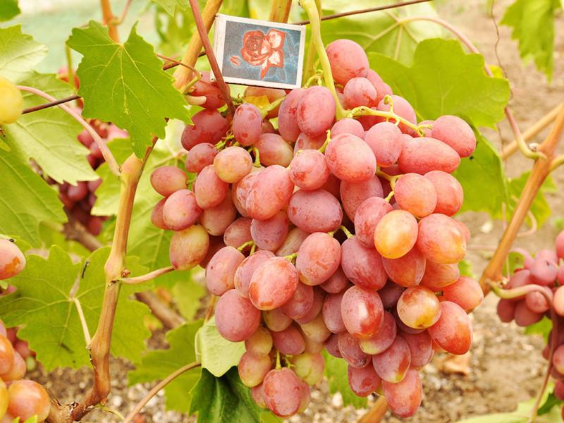 Фото 24: Виноград Находка