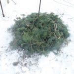 Фото 115: Укрытие куста винограда на зиму хвоей