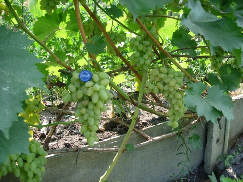 Фото 27: Виноград Феномен