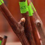 Фото 58: Выдвижение почки на черенке винограда