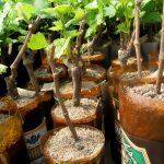 Фото 63: Как прорастить черенки винограда