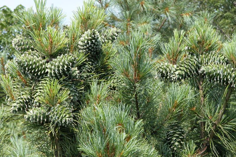 Фото 30: Зеленые кедровые шишки