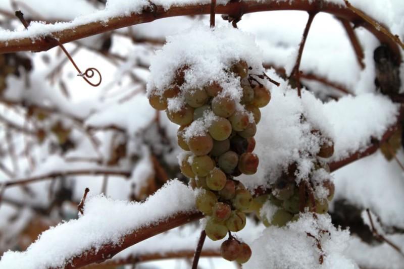 Фото 33: Плоды винограда зимой