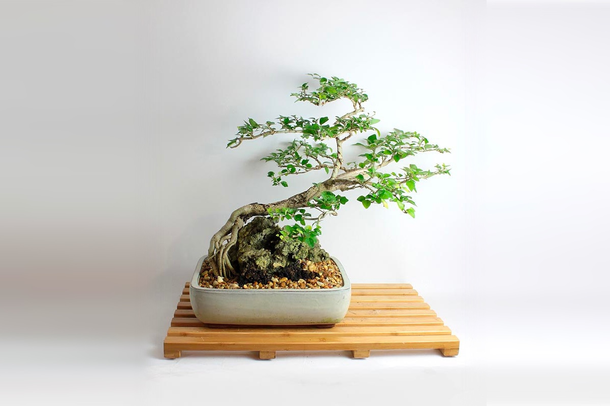 товар недели дерево бонсай1