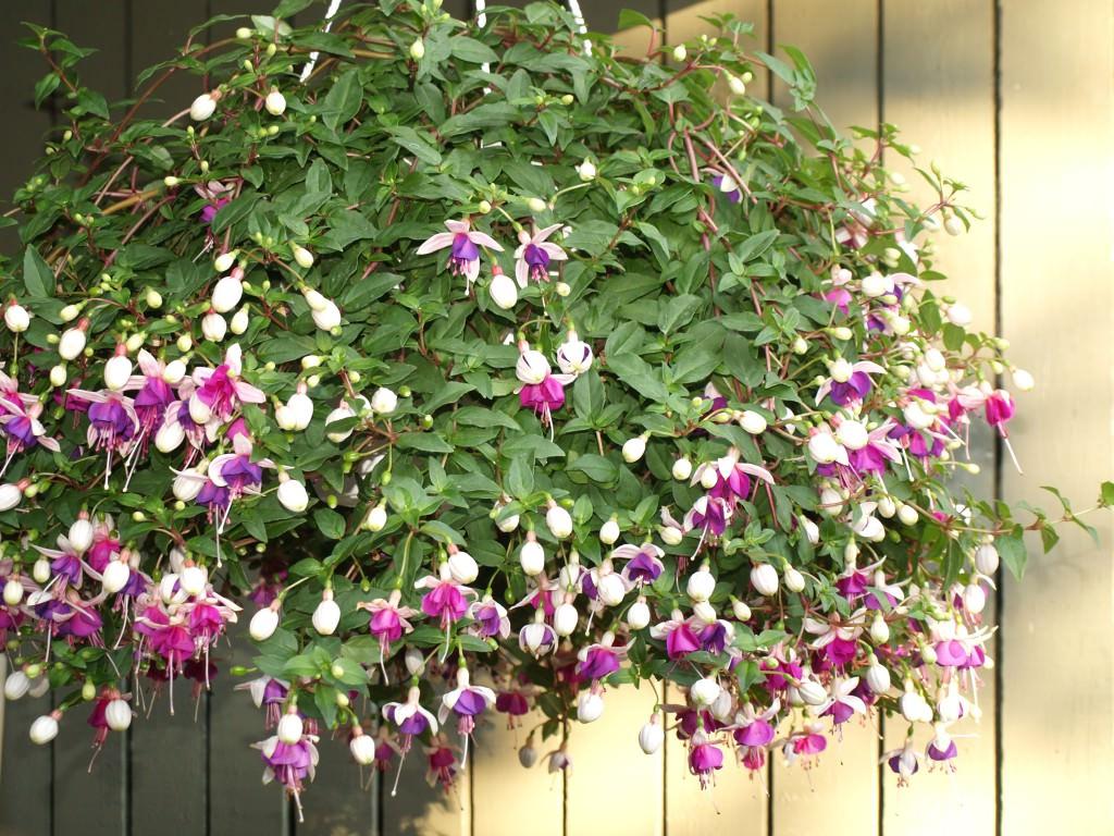 Ампельные растения для украшения фасадов