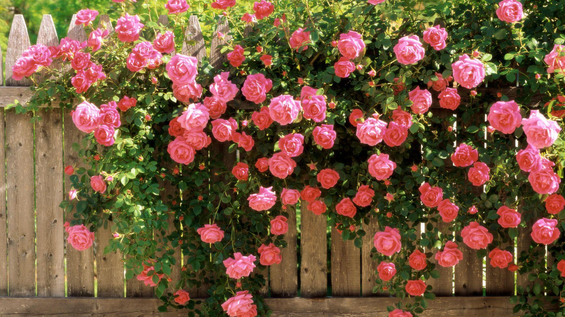 Украшение забора розами