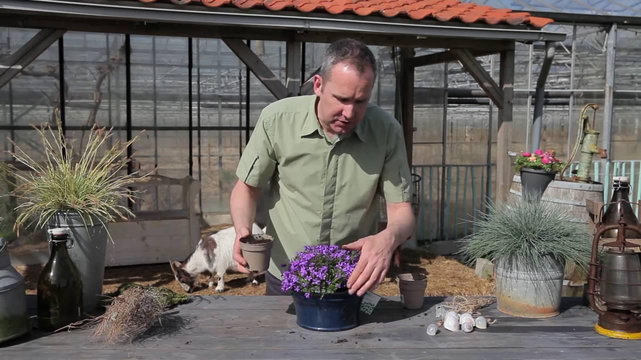 Размножение кампанулы садовой многолетней