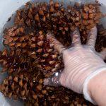 Фото 34: Очистка и замачивание шишек