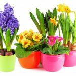 Фото 66: Популярные цветы в горшочках