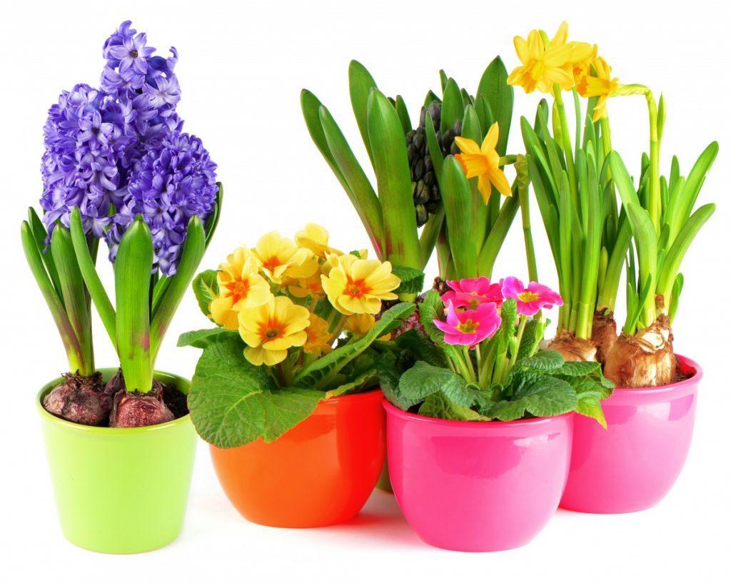 Популярные цветы в горшочках на 8 марта