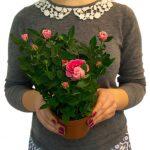 Фото 60: Розы в горшке для выращивания дома в подарок на 8 марта