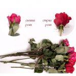 Фото 40: Отличие свежей и старой розы