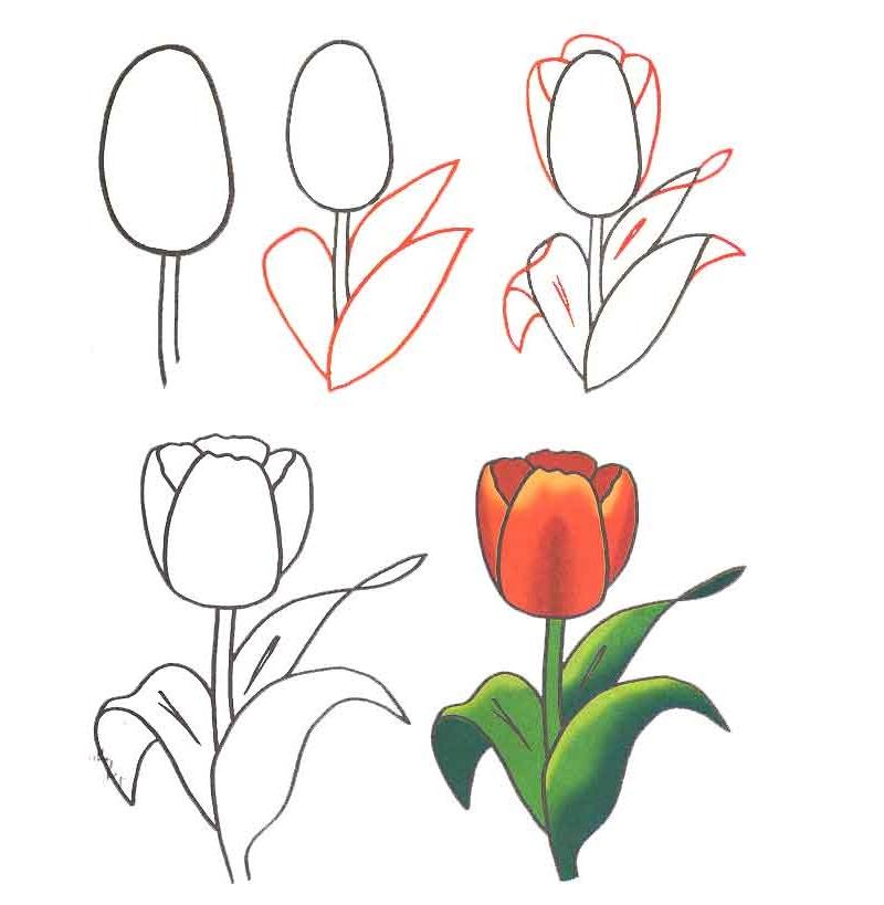 Как нарисовать тюльпан поэтапно просто