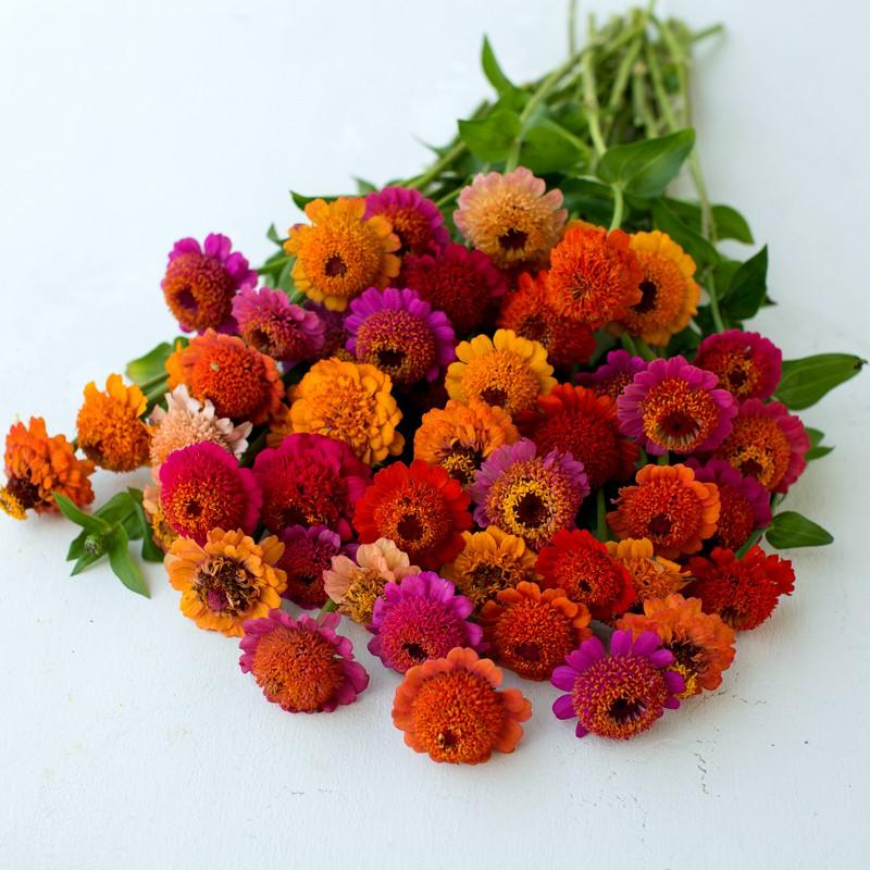 цинния Scabious_Flowered_Mixed