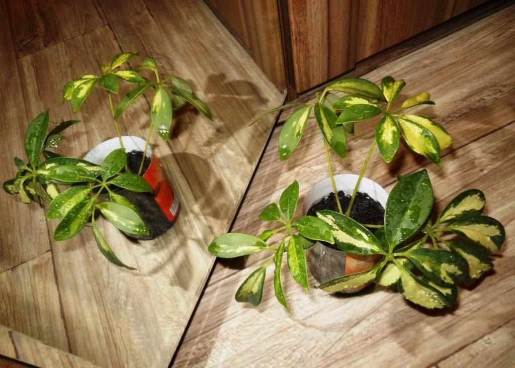 После пересадки растение нужно поставить в темное место на несколько дней