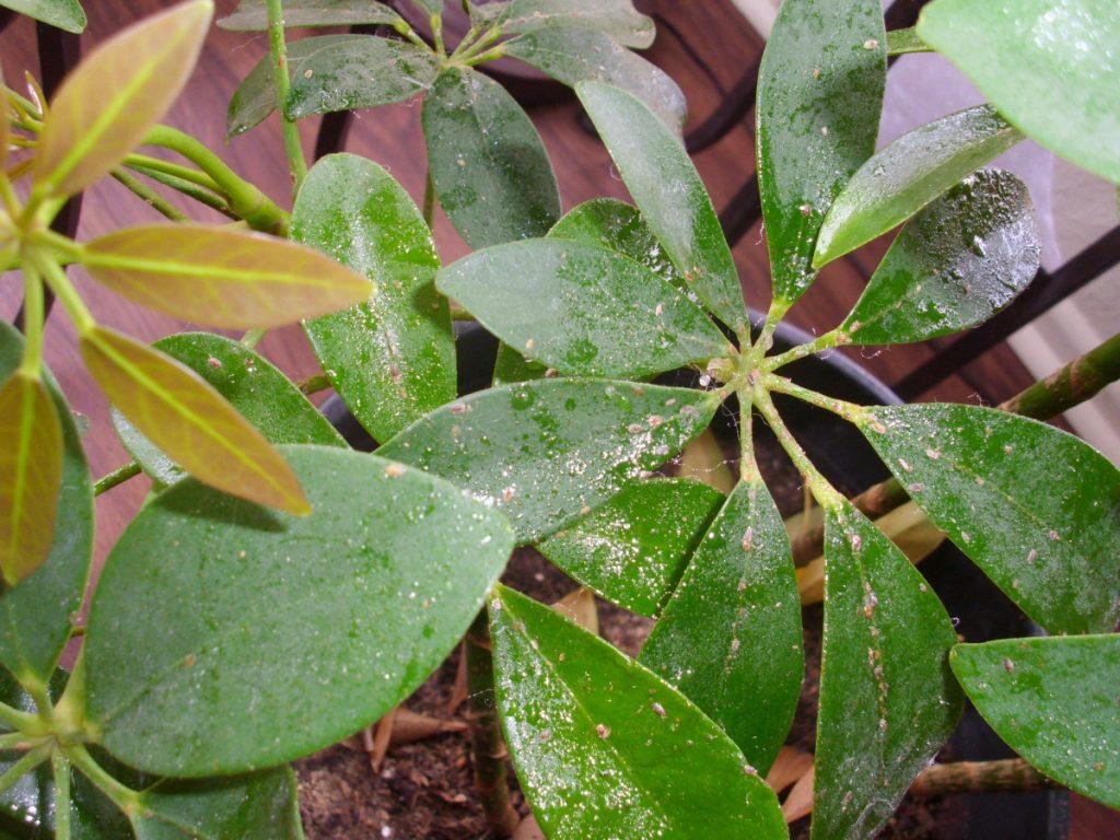 Дихлофос и карбофос помогают избавиться от клещей и других вредителей