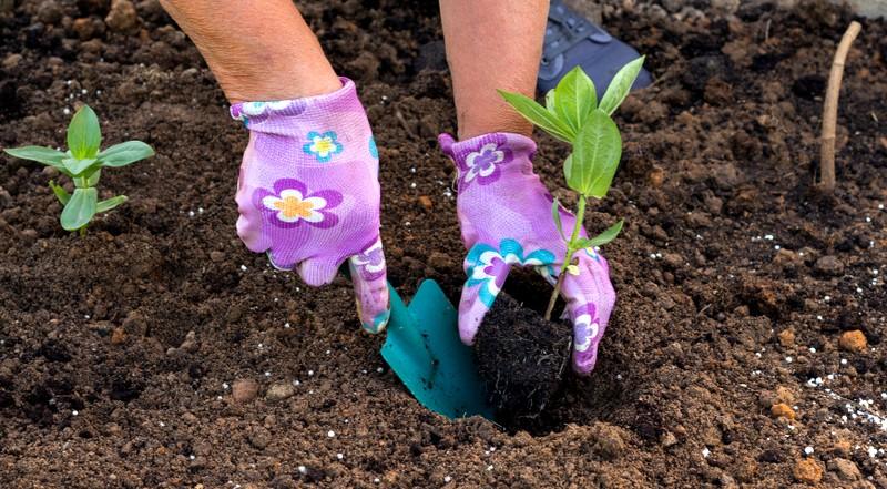 выращивание циннии из семян