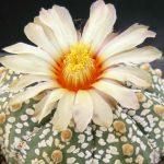 Фото 14: Astrophytum asterias Super Kabuto