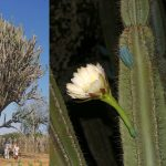 Фото 116: Cereus jamacaru