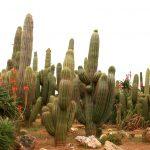 Фото 117: Эхинопсис чилийский