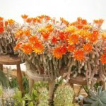 Фото 90: Echinopsis chamaecereus
