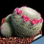 Фото 43: Mammillaria elegans