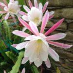 Фото 99: Novena Epiphyllum