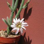 Фото 78: Wilcoxia albiflora