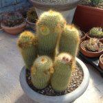 Фото 50: Notocactus leninghausi