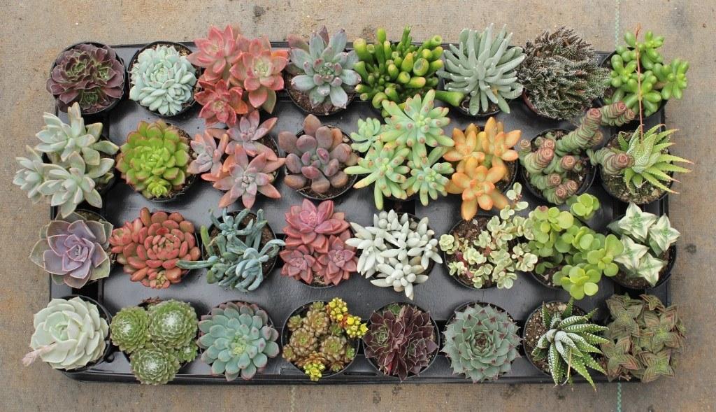 Суккуленты — кактусы