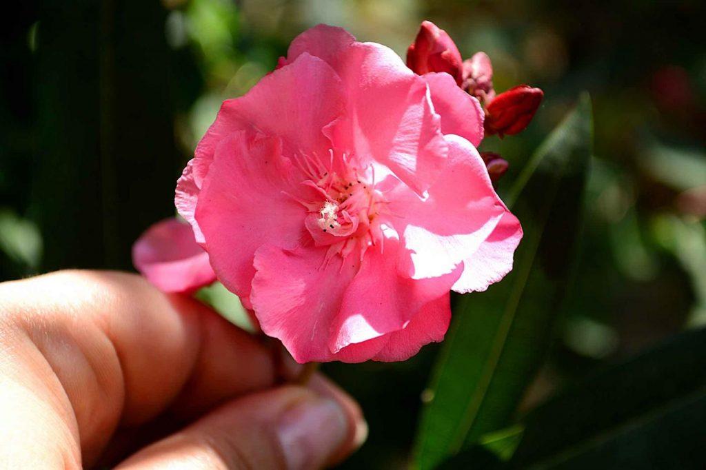 Цветок олеандра