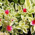 Фото 65: Aptenia Red Apple variegata