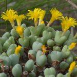 Фото 101: Conophytum bilobum