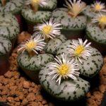 Фото 99: Conophytum obcordellum