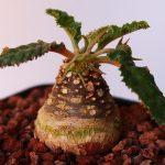 Фото 90: Dorstenia crispa