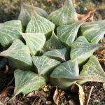 Фото 168: Haworthia magnifica