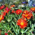 Фото 114: Lampranthus aurantiacus