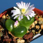 Фото 100: Ophthalmophyllum Conophytum