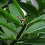 Фото 146: Sinadenium granta