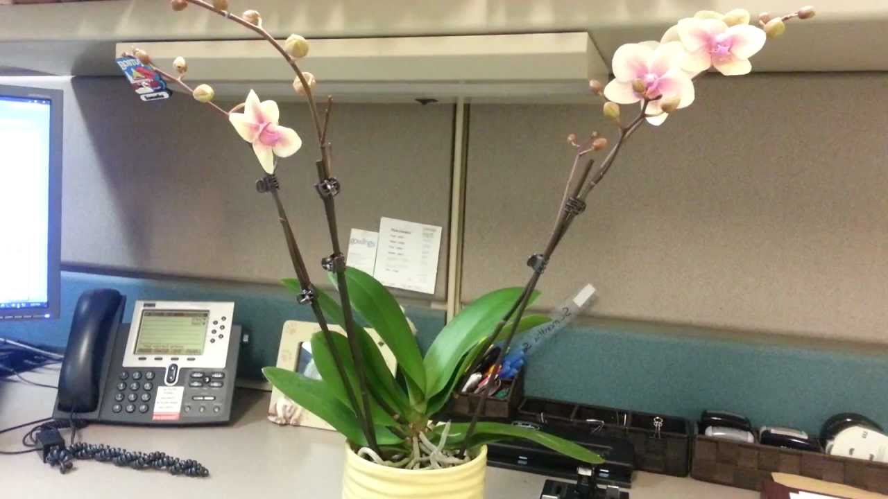 Орхидея в кабинете