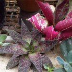 Фото 148: Synadenium grantii rubra