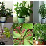 Фото 147: Выращивание синадениума в домашних условиях