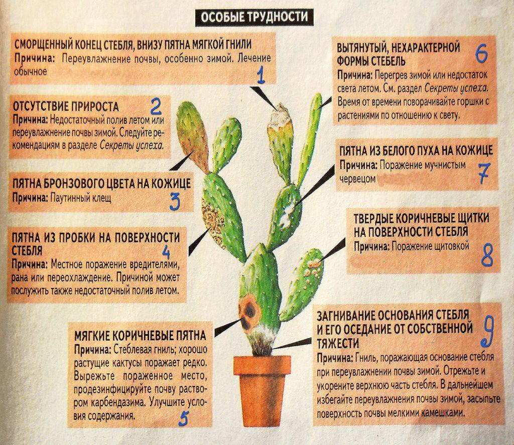 Трудности выращивания кактусов