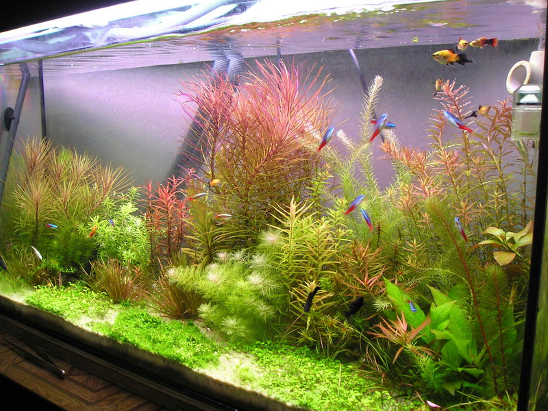 Сочетание растений в голландском аквариуме