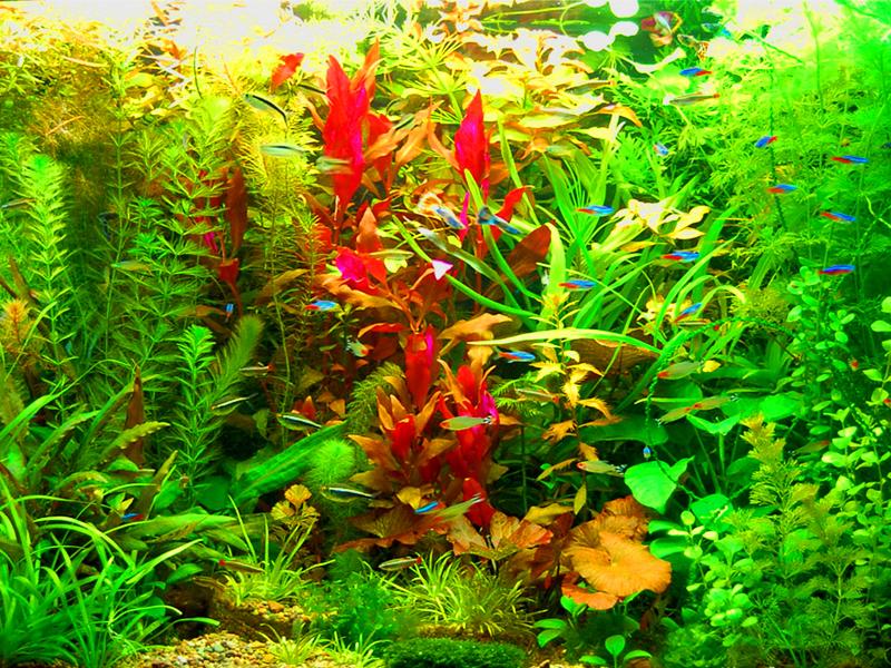 Оформление аквариума в голландском стиле