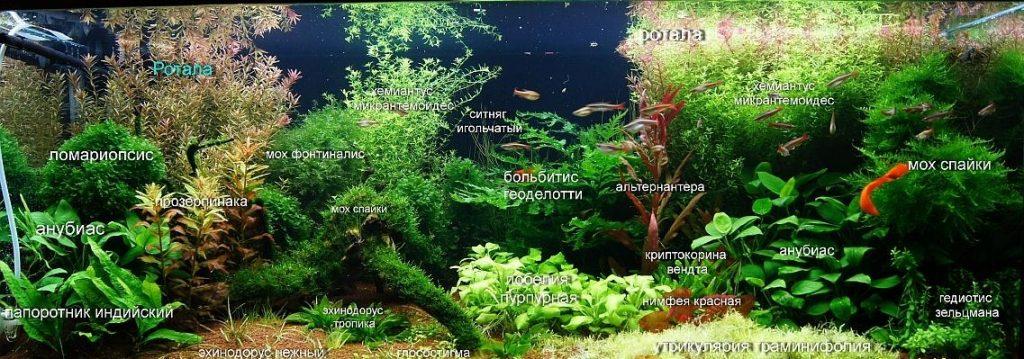 Распределение растений для голландского аквариума