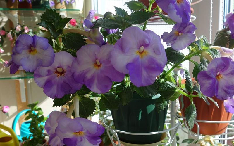 Ахименес крупноцветковый