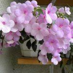 Фото 11: ахименес в горшке с розовыми цветками