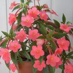 Фото 16: ахименес растение