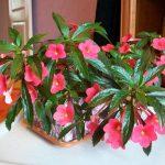 Фото 18: ахименес с красными цветами фото